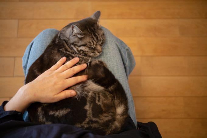 ユカワアツコさんに撫でられるかわいい猫のハチ