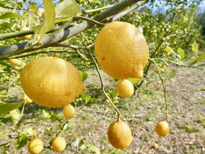 香川県の豊島の無農薬レモン栽培の様子