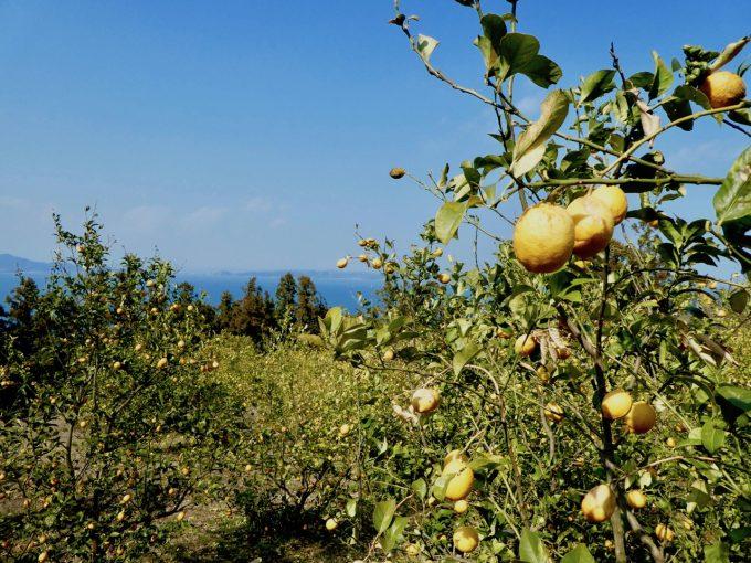 瀬戸内海を臨む丘に広がる堤さんのレモン畑2