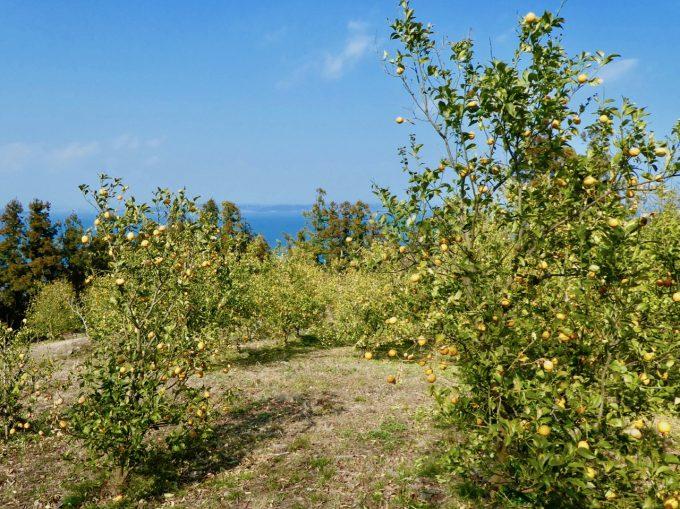 瀬戸内海を臨む丘に広がる堤さんのレモン畑
