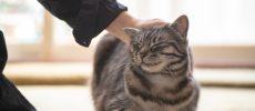 イラストレーター・ユカワアツコさんの飼い猫ハチ