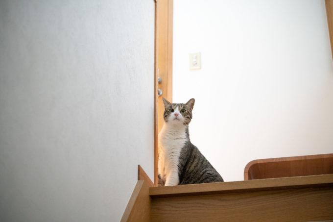 階段から様子をうかがうキジトラのかわいい猫