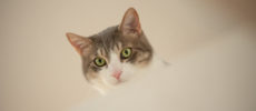 上から様子をうかがうサバトラのかわいい猫