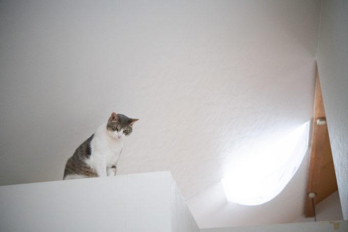 天井のスペースからこちらをのぞくかわいい猫