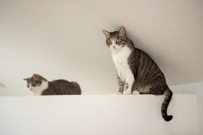 サバトラとキジトラの兄弟猫