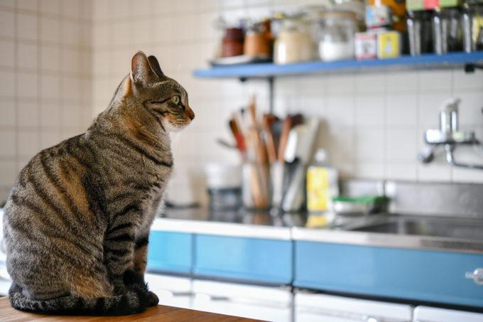 キッチンに座る猫