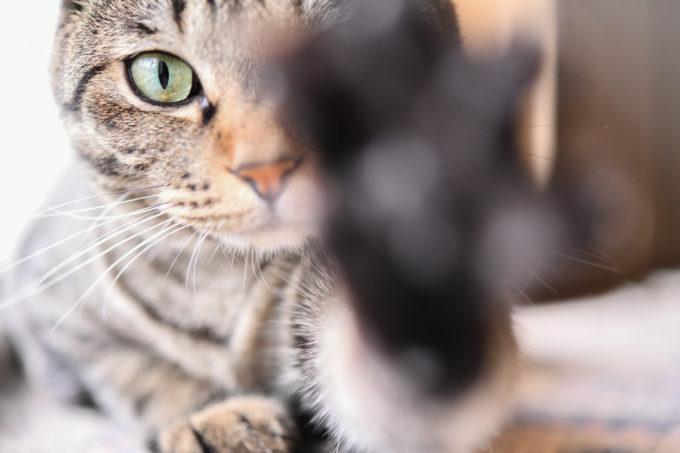 猫のいる生活、料理家の坂田阿希子さんの愛猫ビスコがカメラに近づいている様子