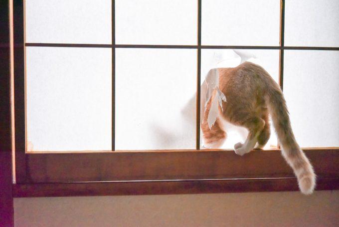 いたずらで障子を破る茶トラの子猫