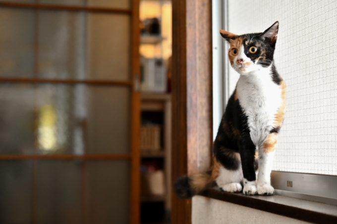 窓のサッシに座って様子をうかがうミケの子猫