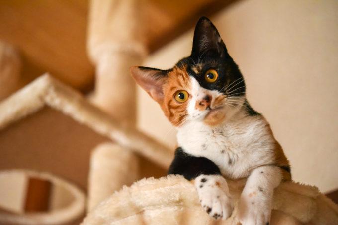 絵本作家の松田奈那子さんが飼っている三毛猫のミミ
