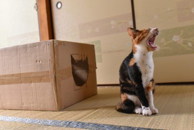 大きな口を開けてあくびをするミケの子猫