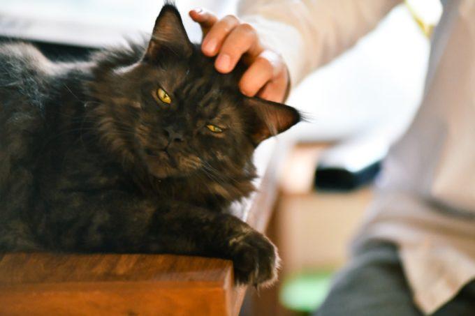 イラストレーター山中正大さんに撫でられる飼い猫のウキ