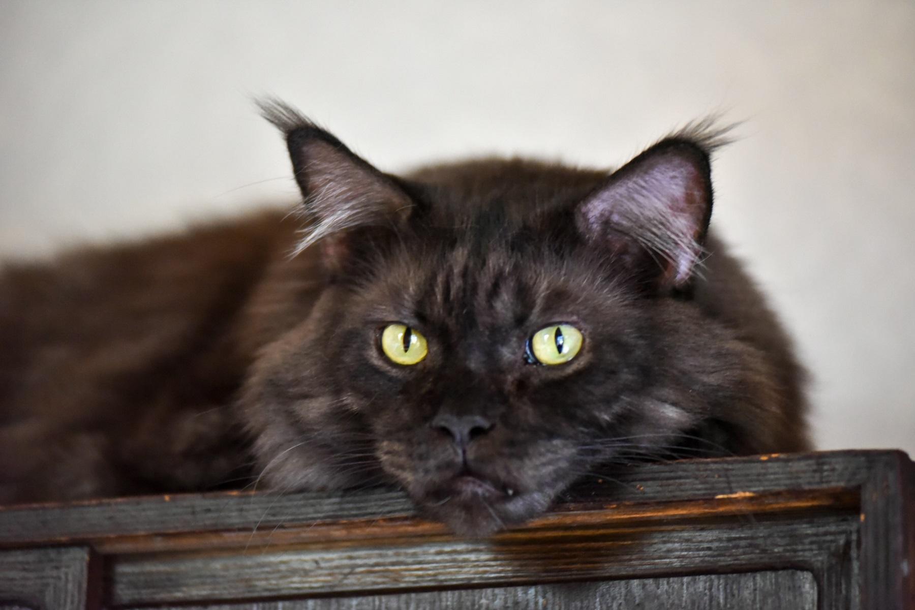 イラストレーター山中正大さんの飼っているメインクーンの猫