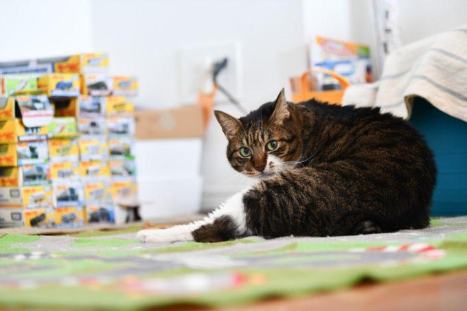 デザイナー&編集者・籾山ご夫妻の愛猫トラが座ってこちらを向いている様子