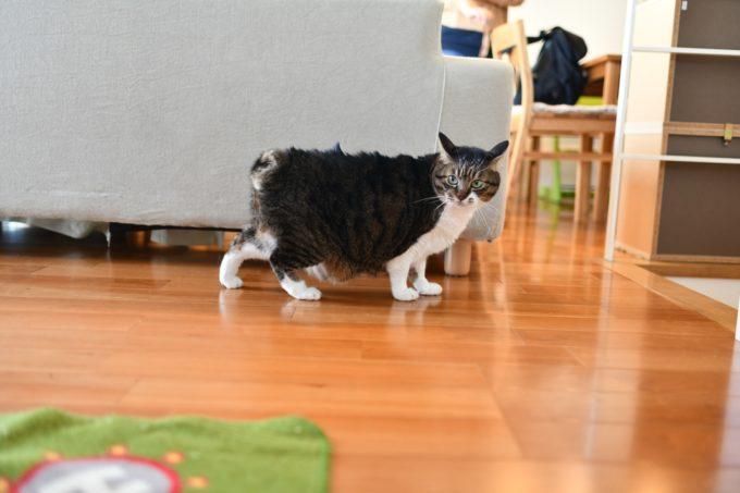 デザイナー&編集者・籾山ご夫妻の愛猫トラがこちらを向いている様子