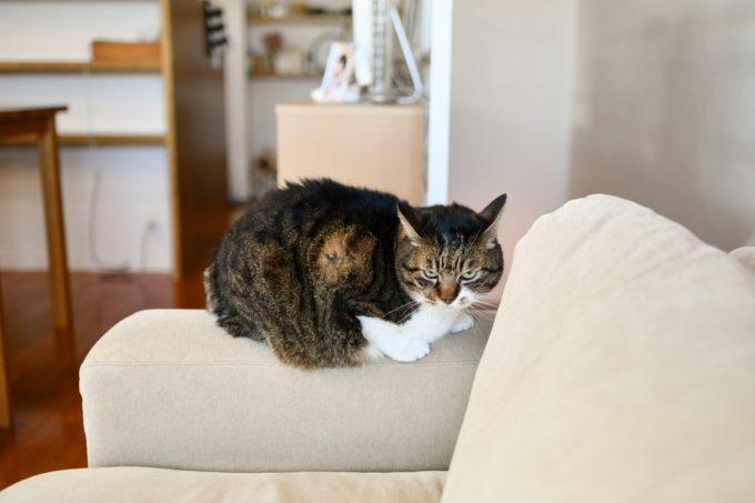 デザイナー&編集者・籾山ご夫妻の愛猫「トラ」がソファの上に居る様子