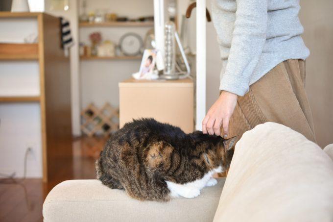 デザイナー&編集者・籾山ご夫妻の愛猫「トラ」がソファの上で撫でられる様子