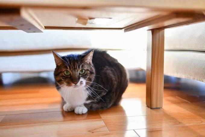 デザイナー&編集者・籾山ご夫妻の愛猫「トラ」がテーブルの下に居る様子