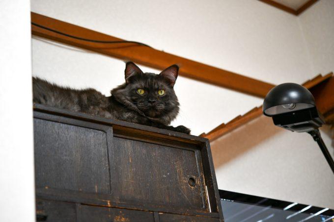 棚の上からこちらを見るイラストレーター山中正大さんが飼っている黒猫2