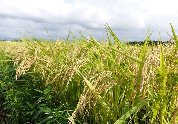 無農薬・無化学肥料で生産されているお米