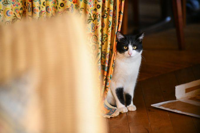 版画家・猫野ぺすかさんの愛猫「しんしん」1