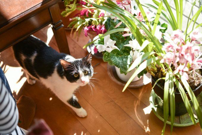 版画家・猫野ぺすかさんの愛猫「しんしん」2