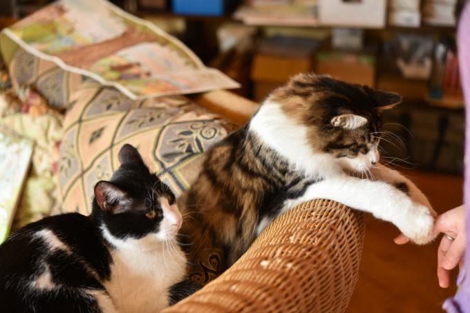 版画家・猫野ぺすかさんの愛猫2匹