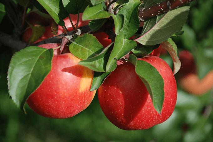 青森県弘前市にある「もりやま園」のりんご
