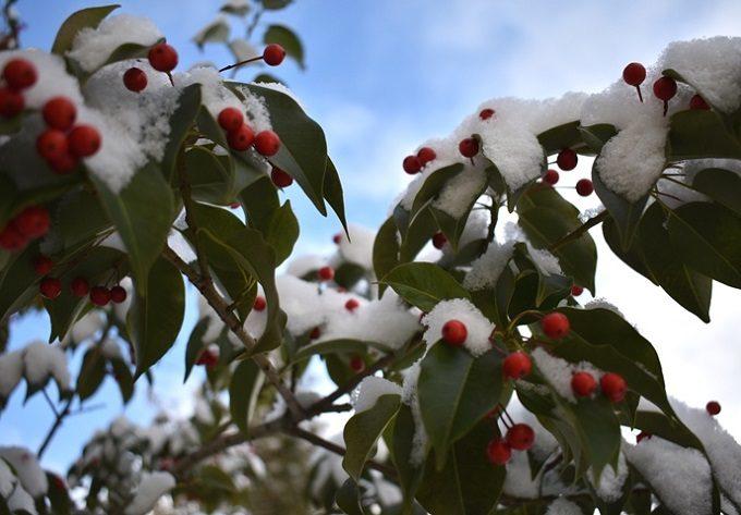 冬青(そよご)の木