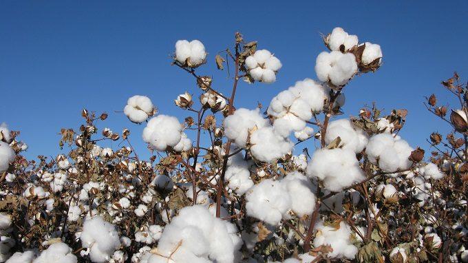 天衣無縫の製品に使われるオーガニックコットン、綿の花