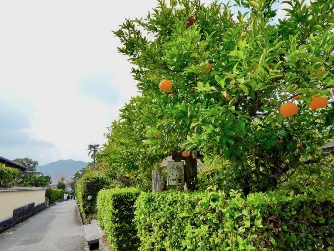 山口県萩市の夏みかんの木