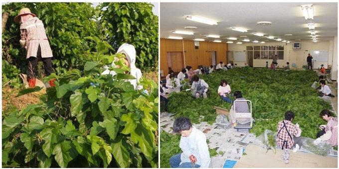 香川の「西森園」が作る「さぬきマルベリーティー」の製造工程