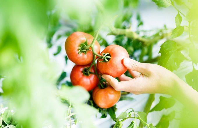 千葉県栄町にあるトマト農家の直売所「NOLAND(ノランド)」の完熟トマト、収穫の様子