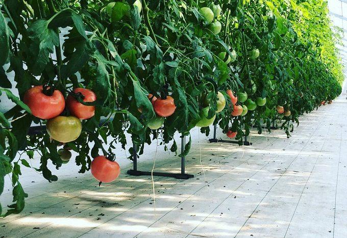千葉県栄町にあるトマト農家「NOLAND(ノランド)」の栽培方法