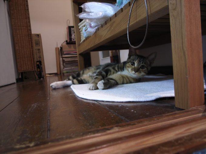 地域計画学研究者・江口亜維子さんの愛猫・うりが寝そべった様子