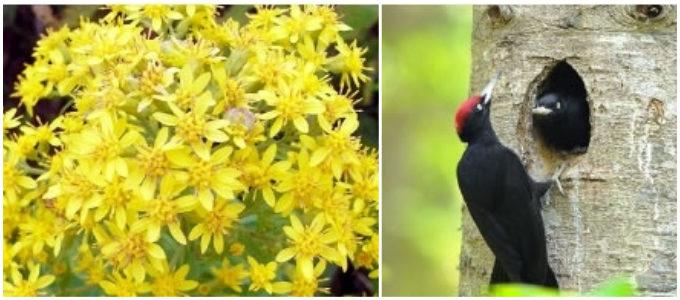 「ニセコ グラン・ヒラフ」のネイチャーガイドで見られる花や鳥