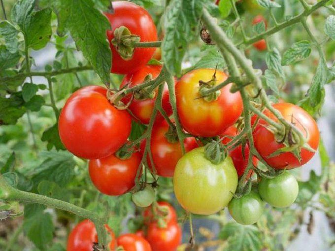 実をつけたトマトの写真