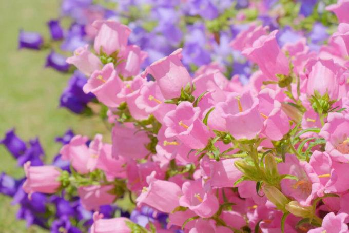 恋人や友人へありがとうを伝える花束におすすめ、感謝の花言葉を持つ花「カンパニュラ」
