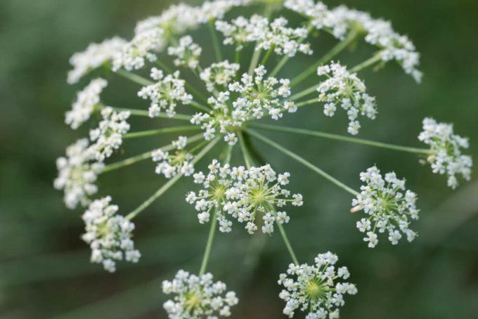 ありがとうを伝えるプレゼントにおすすめ、感謝の花言葉を持つ花「ホワイトレースフラワー」