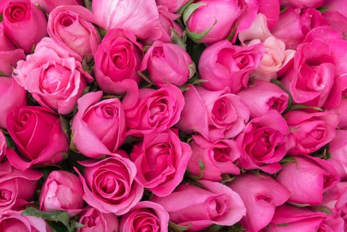花束のプレゼントにおすすめ、感謝の花言葉を持つ花「濃いピンクのバラ」