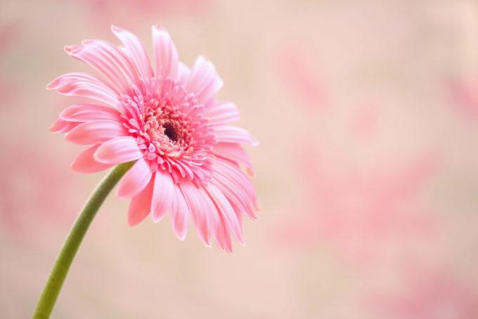 感謝・尊敬する人へのプレゼントの花束におすすめ、感謝の花言葉を持つ花「ピンクのガーベラ」