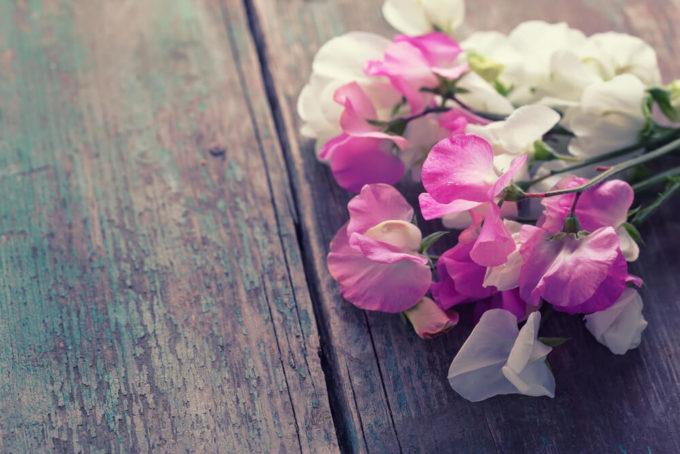 卒業や転職の花束のプレゼントにおすすめ、感謝の花言葉を持つ花「スイートピー」