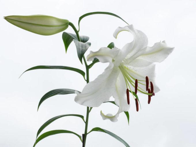 親の結婚記念日にもおすすめの感謝の花言葉を持つ花「カサブランカ」