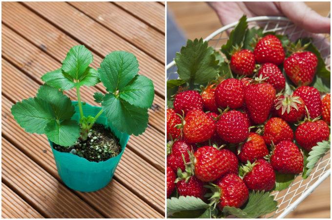 来春には自宅でイチゴ狩り。自分の手で育てる楽しさが実感できるプランター菜園